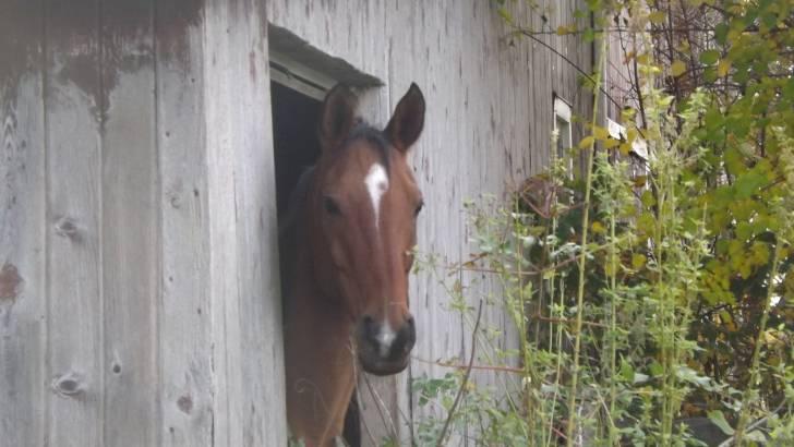 Cheval Arabian - Pur sang arabe Mâle (15 ans)