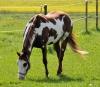 Kitsuchi - éleveur de chevaux Horzer