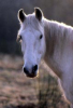 Liloule77 - éleveur de chevaux Horzer