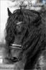 lounad1 - éleveur de chevaux Horzer