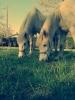 justine_p - éleveur de chevaux Horzer
