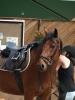 patito41 - éleveur de chevaux Horzer