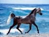 ma_chere - éleveur de chevaux Horzer