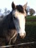 turbulos - éleveur de chevaux Horzer