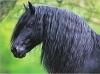 dodo-chevaux - éleveur de chevaux Horzer