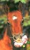 zorbacheval - éleveur de chevaux Horzer