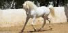 Vaska - éleveur de chevaux Horzer