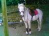 sdis29 - éleveur de chevaux Horzer