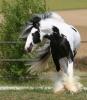 rose1006 - éleveur de chevaux Horzer