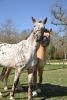 eno27 - éleveur de chevaux Horzer