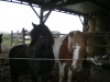 Rakaye - éleveur de chevaux Horzer