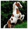 lyly44850 - éleveur de chevaux Horzer
