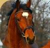 chouchoufd - éleveur de chevaux Horzer