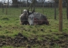 zagadeal - éleveur de chevaux Horzer