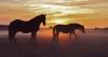 sophie-boucher - éleveur de chevaux Horzer