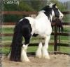djmotekno - éleveur de chevaux Horzer