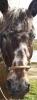 mimiauclair2 - éleveur de chevaux Horzer