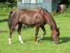 Stella202 - éleveur de chevaux Horzer