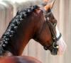 lolow82 - éleveur de chevaux Horzer