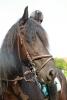 kekambas - éleveur de chevaux Horzer