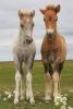 Charlene06 - éleveur de chevaux Horzer