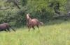 lacanardiere - éleveur de chevaux Horzer