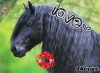chevalstar770 - éleveur de chevaux Horzer