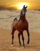 sahouma2000 - éleveur de chevaux Horzer