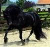 fiona72 - éleveur de chevaux Horzer