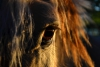papuche138 - éleveur de chevaux Horzer