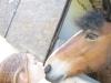 Liloute14 - éleveur de chevaux Horzer