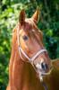 melarodocat - éleveur de chevaux Horzer