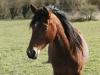 Chanel252 - éleveur de chevaux Horzer