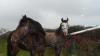 GLORY12 - éleveur de chevaux Horzer