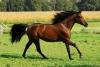 claere - éleveur de chevaux Horzer