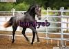 koralyeb - éleveur de chevaux Horzer