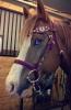 Maggie1718 - éleveur de chevaux Horzer