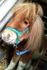 Ali-son - éleveur de chevaux Horzer