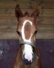 coeurnoisette - éleveur de chevaux Horzer