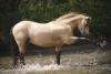goliathponey - éleveur de chevaux Horzer