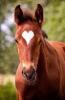 waoufs - éleveur de chevaux Horzer