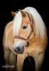 Asnova - éleveur de chevaux Horzer