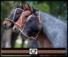 Tiptop - éleveur de chevaux Horzer