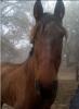 noisettequincy - éleveur de chevaux Horzer