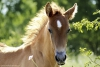 louve123 - éleveur de chevaux Horzer