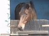 Calatte - éleveur de chevaux Horzer