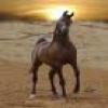 le chevaux du roi Salomon