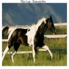 les paint horses sont les plus respectueux des cheveaux