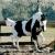 Les paint horses