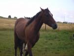 Cheval sunday - Trotteur français Mâle (8 ans)